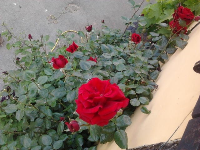 mes roses  Photo050