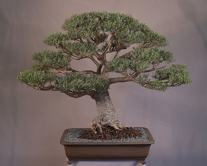 Development of Banksia ericifolia Eric17