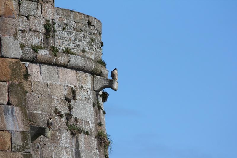 Faucon pélerin : le gardien du chateau du Taureau  Img_1810