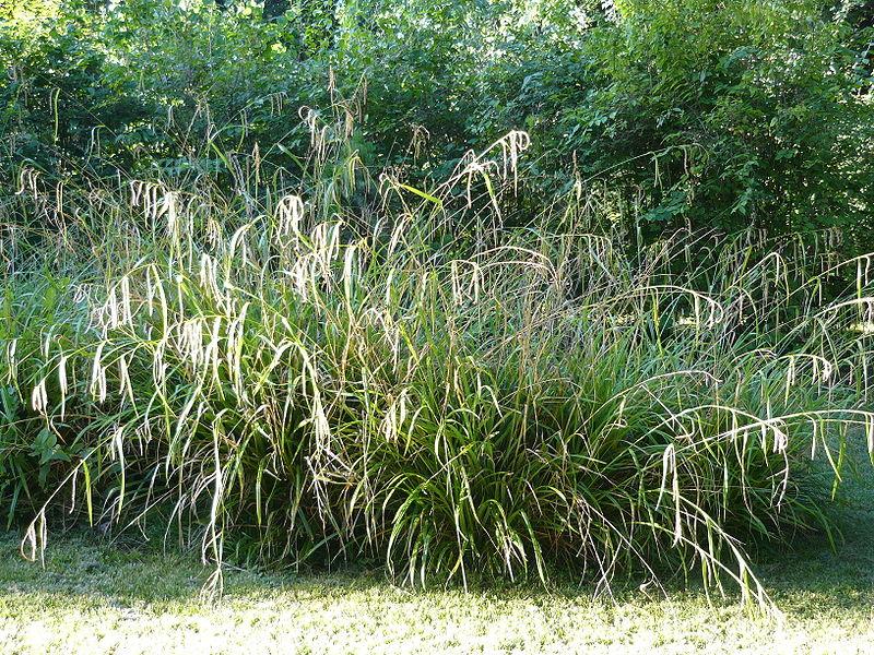Carex Pendula 800px-10
