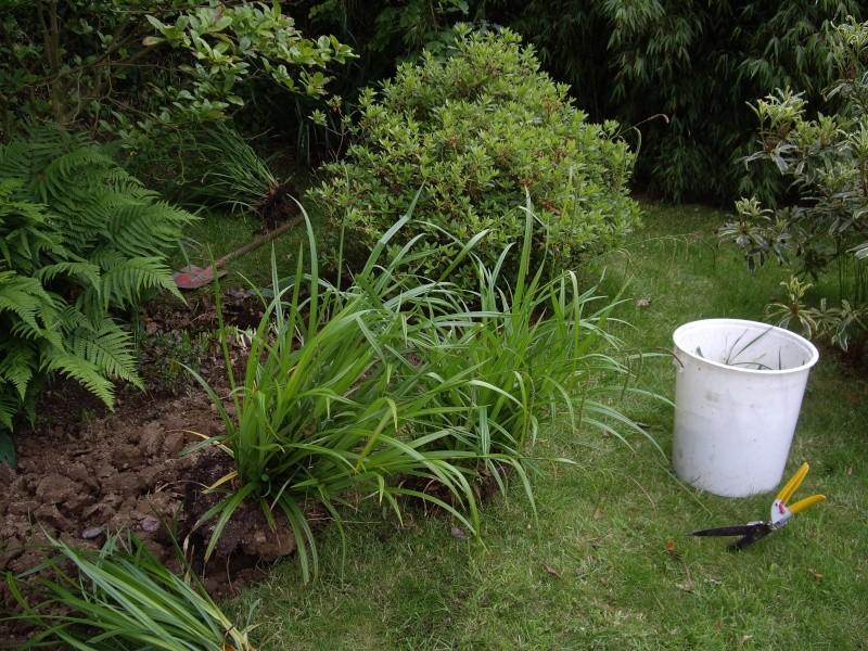 Carex Pendula Imgp4311