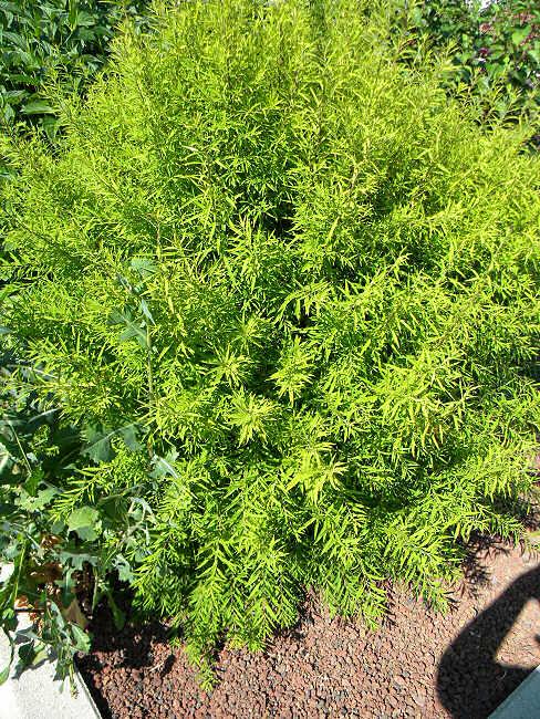 Arbuste Arbust10