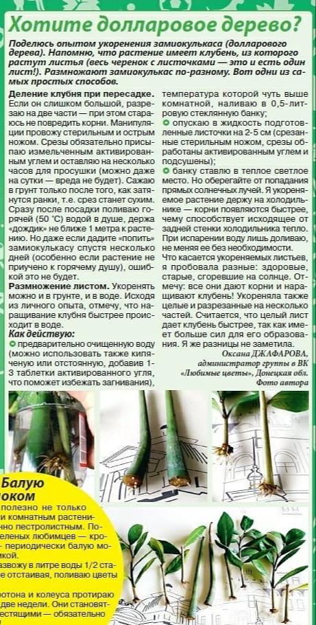 Замиокулькас или доларовое дерево 20210210
