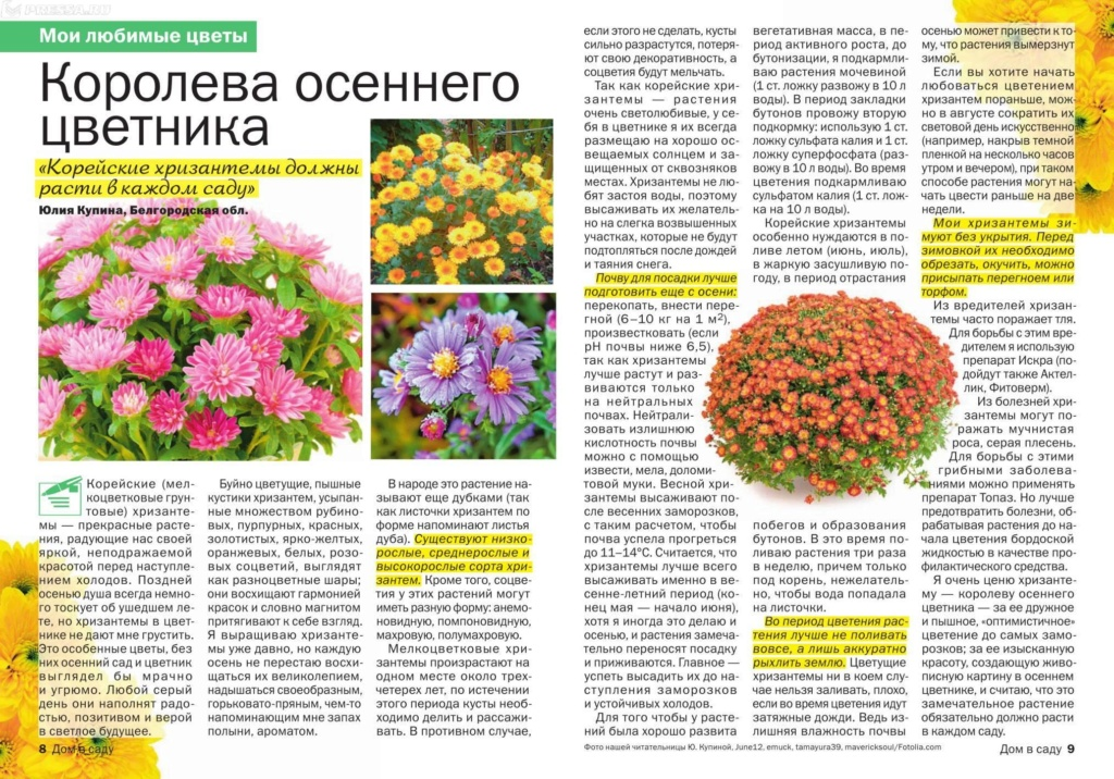 хризантема 8-9-hi11