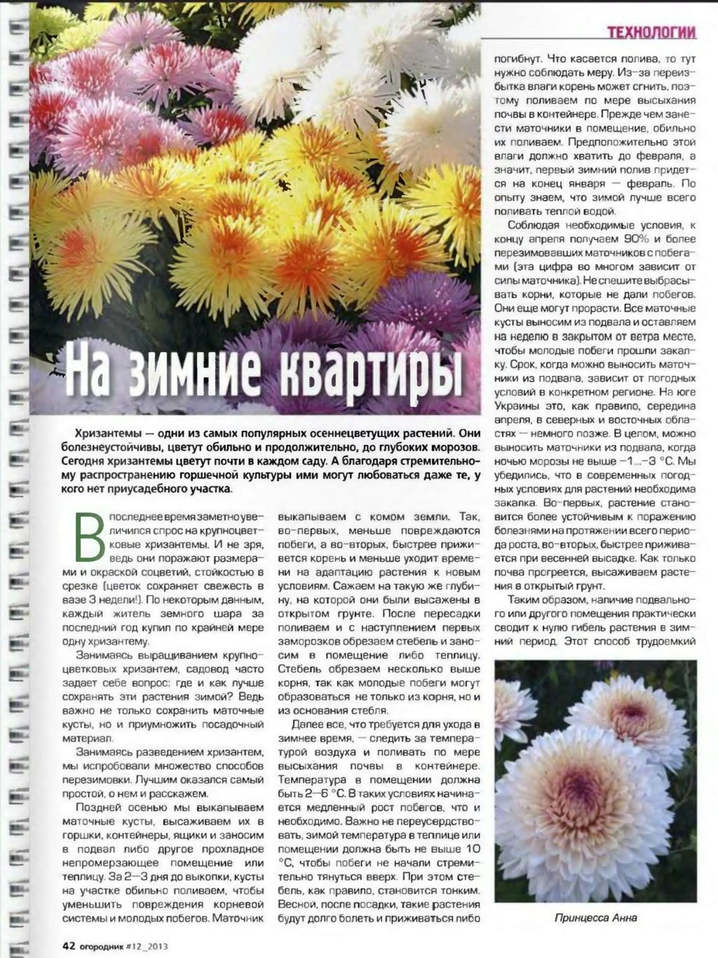 хризантема P003510