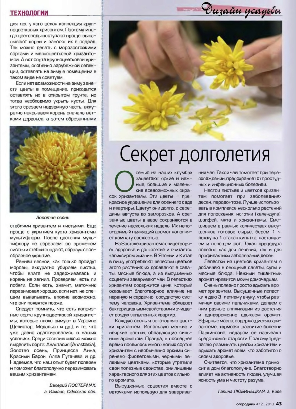 хризантема P003610