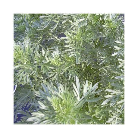 les plantes aromatiques Absint10