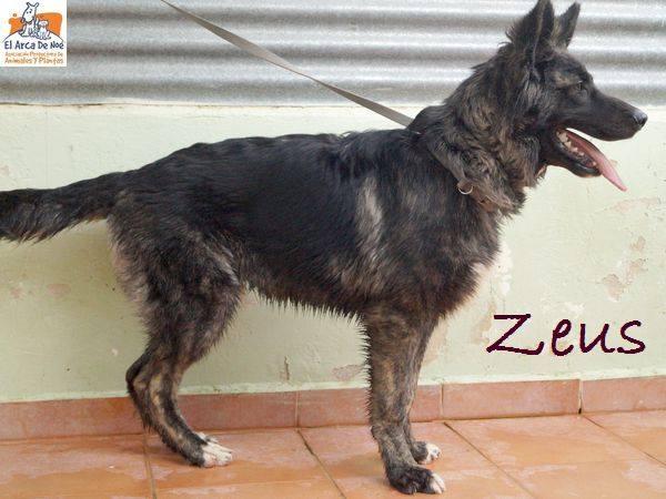 ZEUS - CROISE BERGER - ES (Sole) 36723810