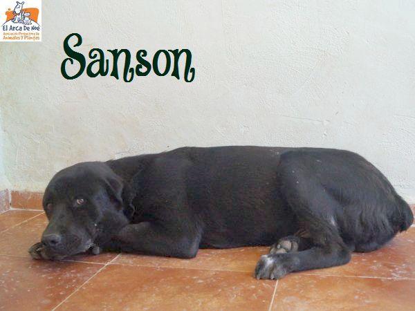 SANSON - CROISE LABRADOR - ES (Sole) P1808130
