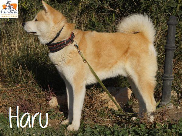 HARU - AKITA INU - ES (Sole)  P1811012