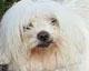 BIJOU (renommé FILOU) - bichon maltais de 11 ans - ex cani-nursing - en FA chez Danièle