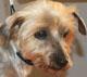 DIAM - femelle Yorkshire de 9 ans - ex cani-nursing - en FA chez Jacqueline