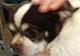 GUYZMO - mâle chihuahua de 8 ans - en FA chez Dorothée