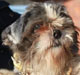 HOBBY - mâle shitsu borgne d'environ 12 ans - ex cani-nursing - en FA chez Chantal