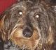 IGOR - mâle Teckel à poil dur de 5 ans - en FA chez Magali