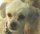 MADY - femelle Bichon de 1 an - en FA chez Magali
