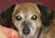 NOISETTE - femelle croisée Teckel d'environ 8/10 ans - ex cani-nursing - en FA chez Magali