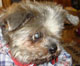 ROSY - femelle shitsu d'environ 12 ans - ex cani-nursing - en FA chez Chantal