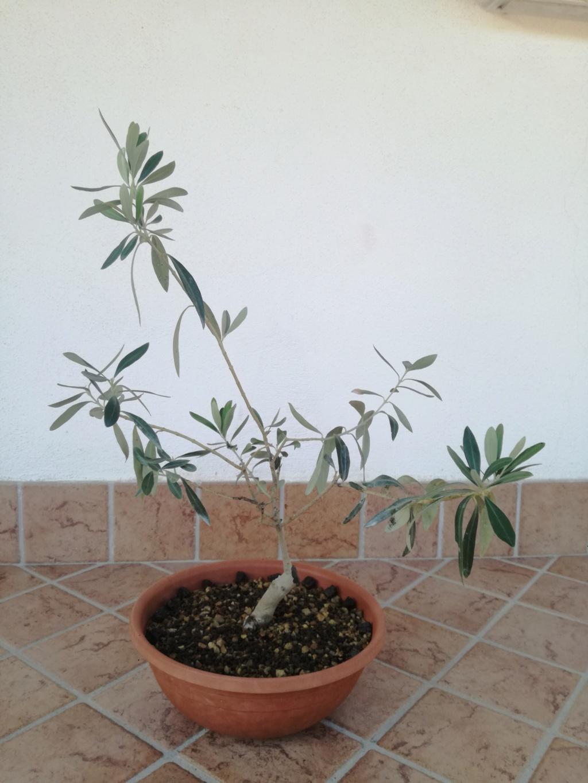 "primo ""bonsai"" di ulivo - Pagina 7 Img_2013"