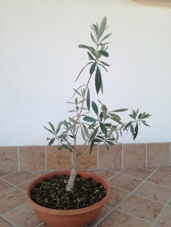 "primo ""bonsai"" di ulivo - Pagina 7 Img_2014"