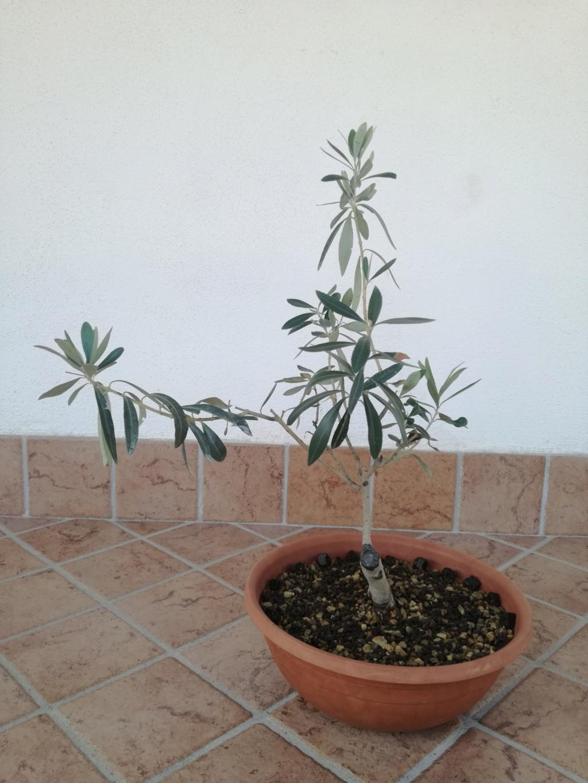 "primo ""bonsai"" di ulivo - Pagina 7 Img_2015"