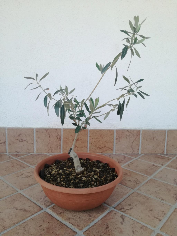 "primo ""bonsai"" di ulivo - Pagina 7 Img_2016"