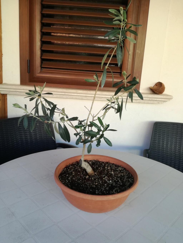 "primo ""bonsai"" di ulivo - Pagina 8 Img_2022"