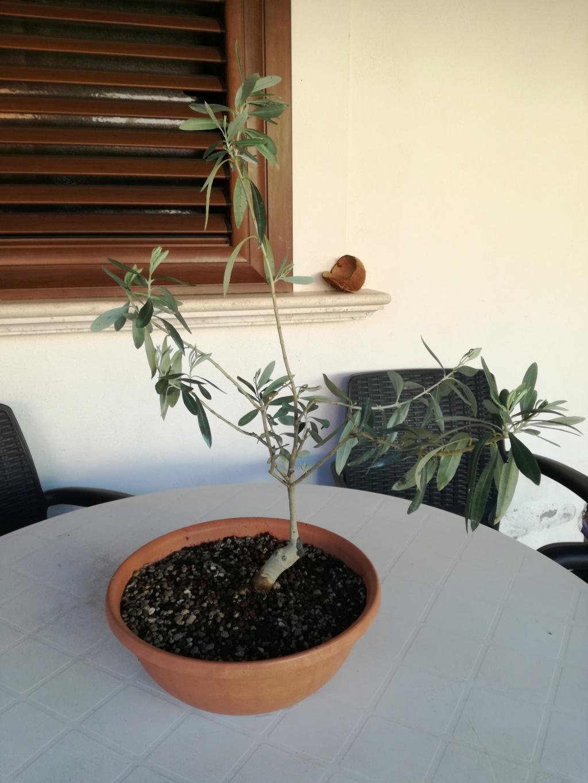 "primo ""bonsai"" di ulivo - Pagina 8 Img_2023"