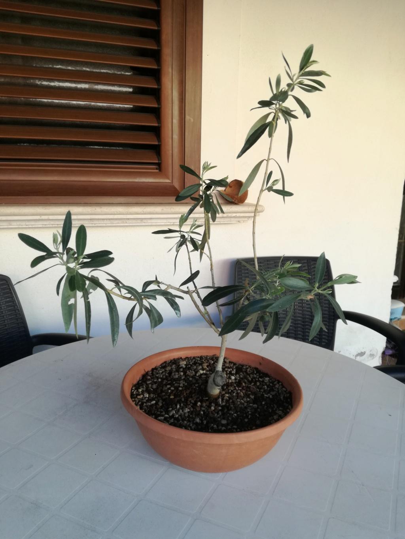 "primo ""bonsai"" di ulivo - Pagina 8 Img_2024"