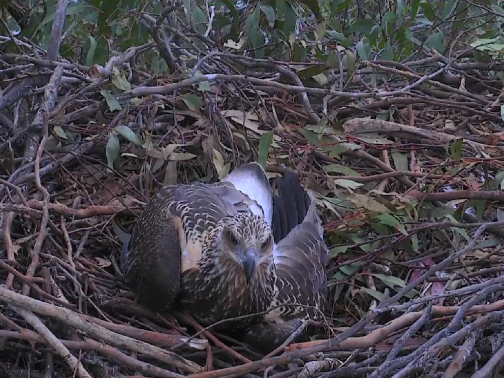 Sidney Sea-Eagle cam. - Pagina 8 2018-121