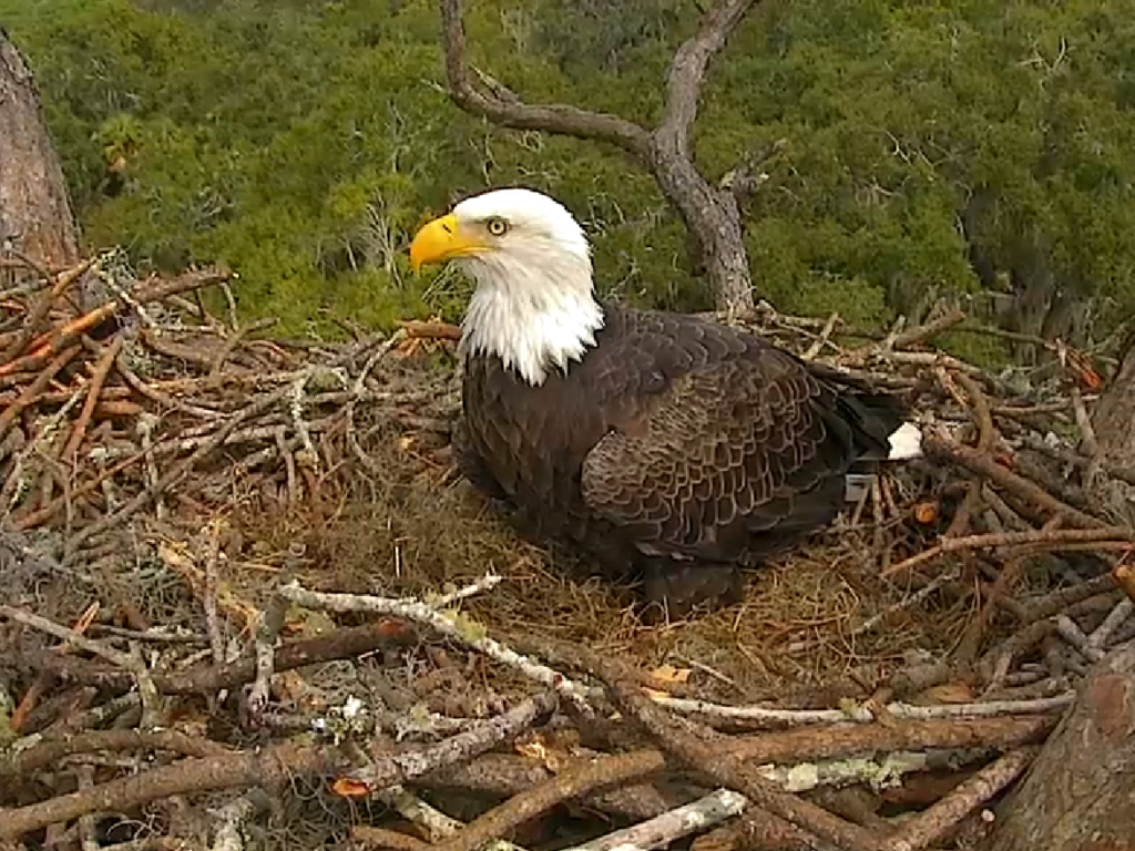AEF Northeast Florida Nest of Bald Eagles Romeo & Juliet   - Pagina 11 2018-131