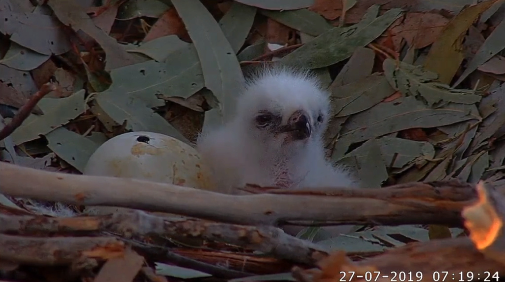 Sydney Sea-Eagle cam. - Pagina 10 2019-778