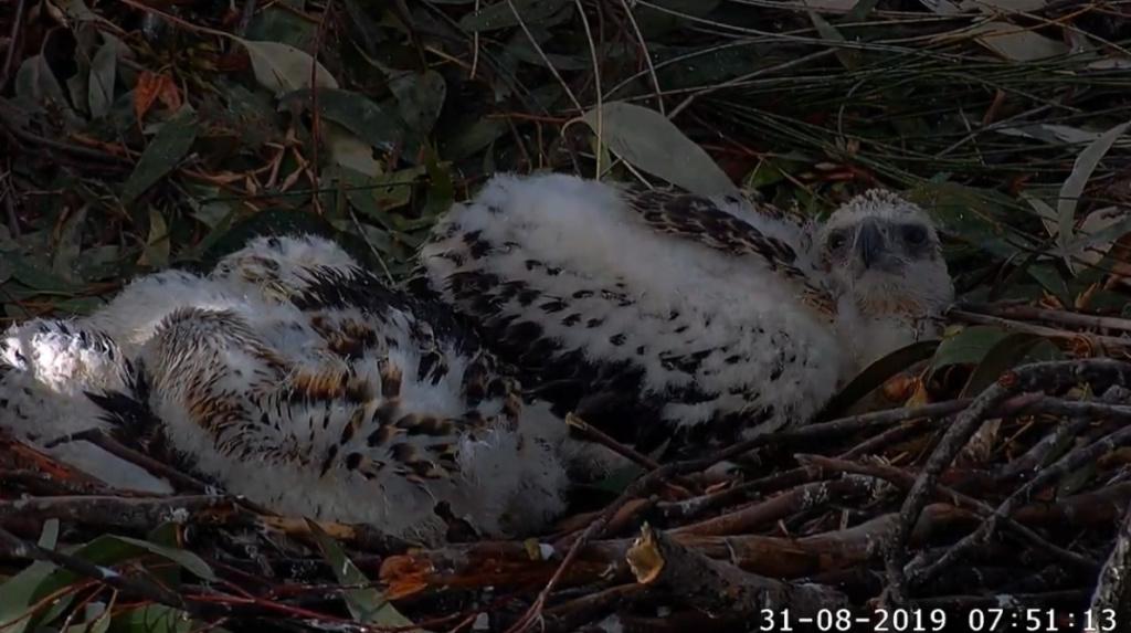 Sydney Sea-Eagle cam. - Pagina 10 2019-801
