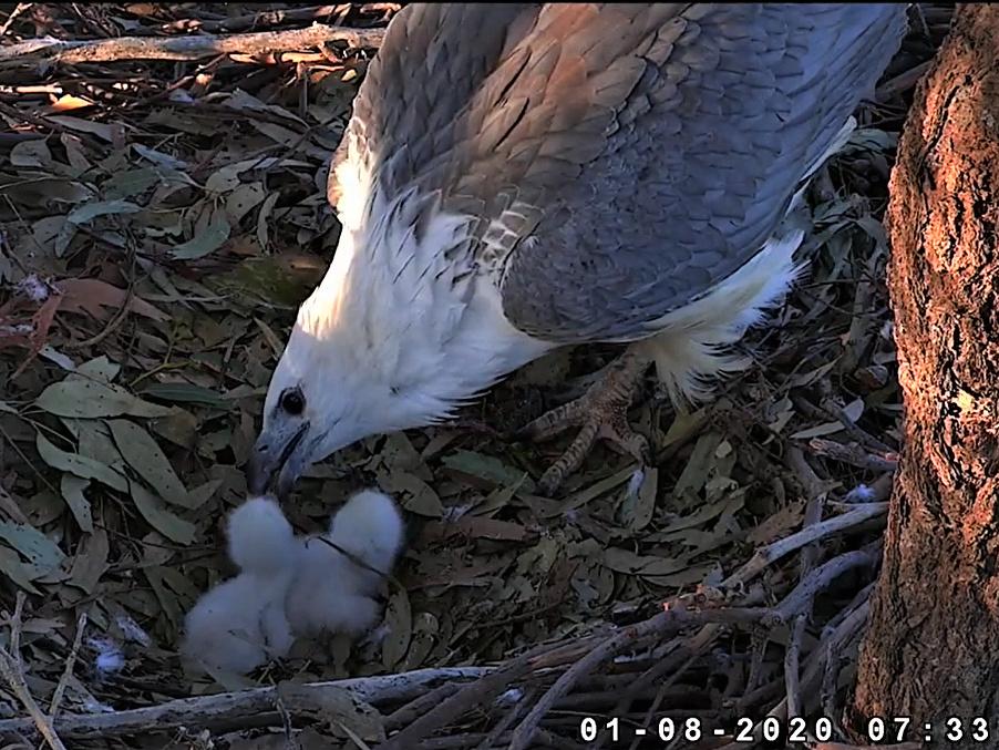 Sidney Sea-Eagle cam. - Pagina 11 2020-027
