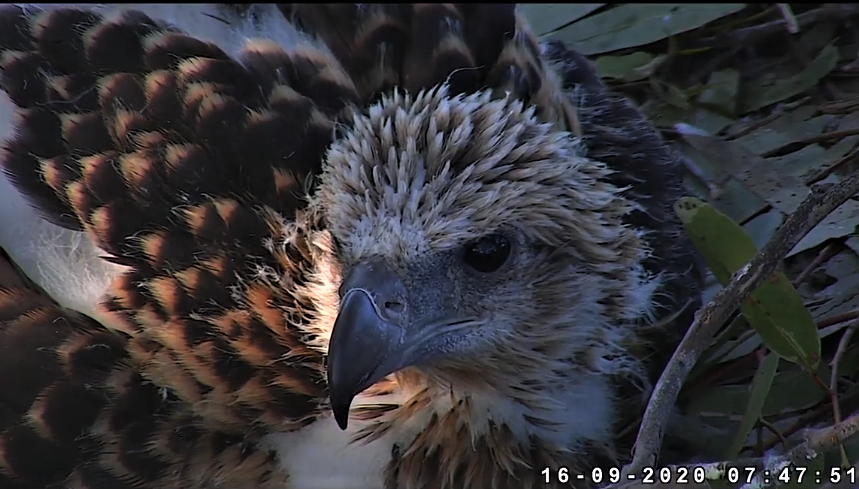 Sidney Sea-Eagle cam. - Pagina 12 2020-184