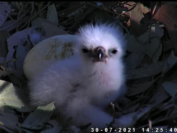 Sydney Sea-Eagle cam. - Pagina 12 2021-072