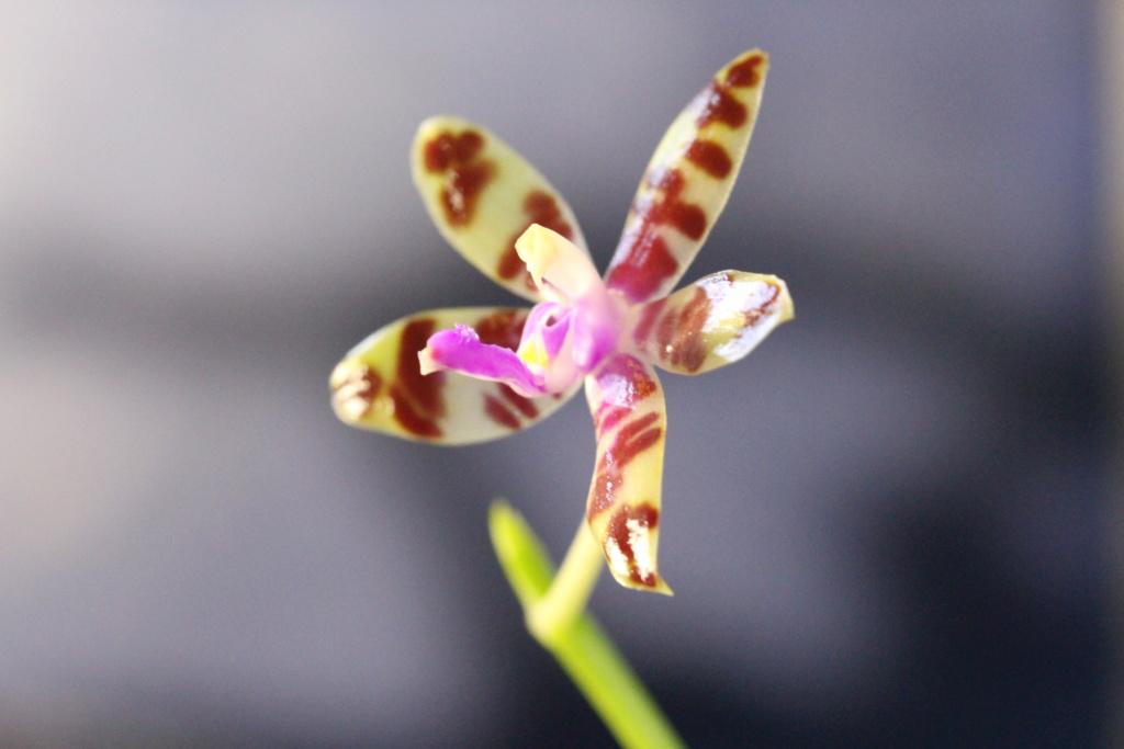 Phalaenopsis : ça c'est sur! Cd_or123
