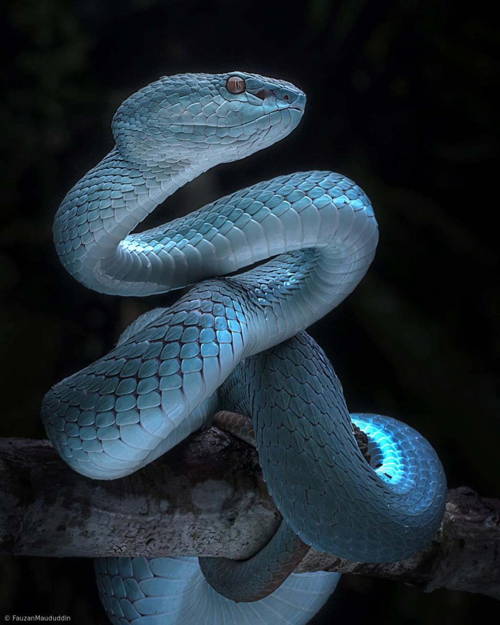 Slitheryn Serpetinus Cbcff410