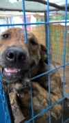 Katica, Schäferhund-Windhund-Mischlingshündin, geb. ca. Mai 2017 Kepatm14