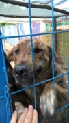 Katica, Schäferhund-Windhund-Mischlingshündin, geb. ca. Mai 2017 Kepatm15