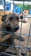 Katica, Schäferhund-Windhund-Mischlingshündin, geb. ca. Mai 2017 Kepatm17