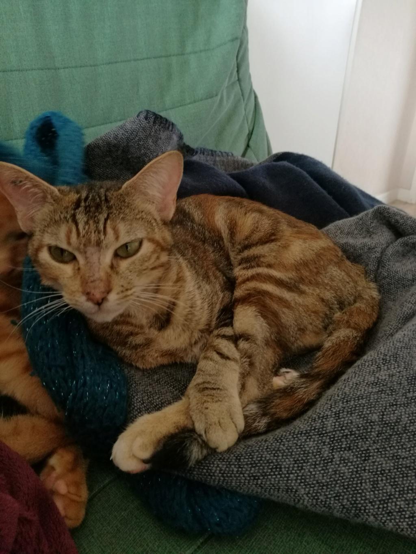 muscari - Muscari, femelle, marron tabby+roux née en octobre 2016 Img_2029