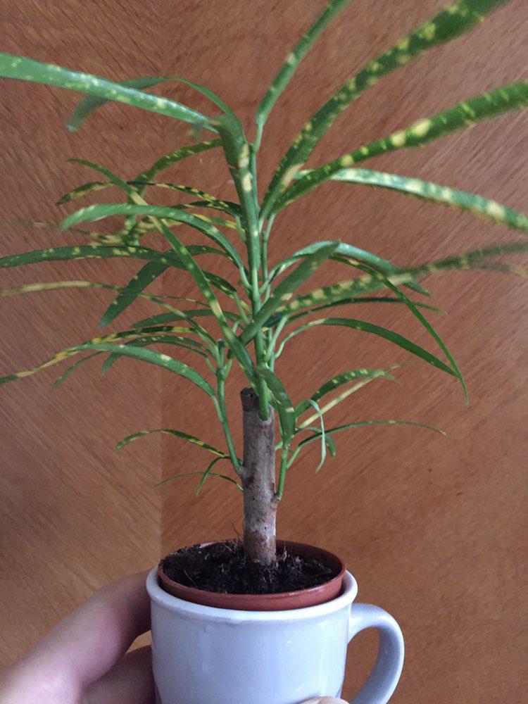 Keine KuaS, trotzdem ein unbekannter Zeitgenosse - gelöst: Codiaeum variegatum Photo_69