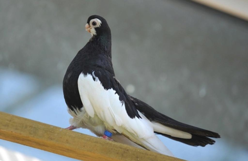 В самаре найден голубь Val_6710