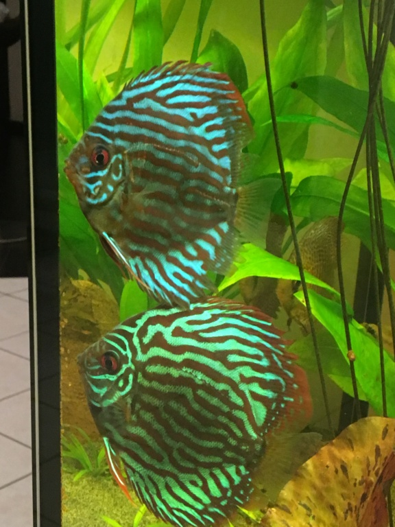 KH GH pour aquarium à Discus Img_7011
