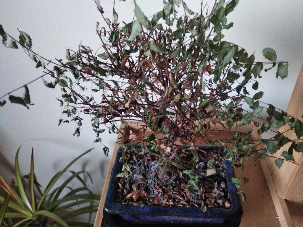Problema con Zelkova Parvifolia Img_2013