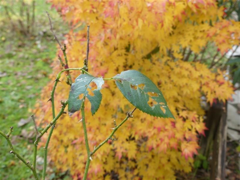 Feuille avec les couleurs d'automne Feuill11