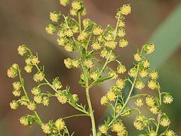 Plante: ARMOISE (Artemesia) - Antipaludique - Covid19? Aa110