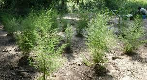 Plante: ARMOISE (Artemesia) - Antipaludique - Covid19? Aa210