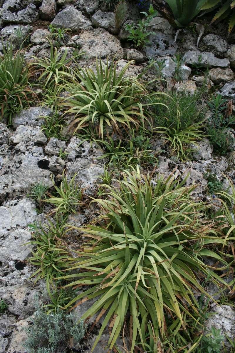Aloe squarrosa Agave_10